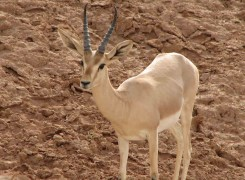 Safari 'Wildlife of Iran' - Varjin, Khojir & Muteh protected areas